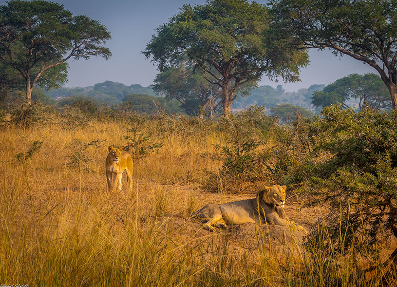africa-lion-uganda-wildlife-magic-safaris