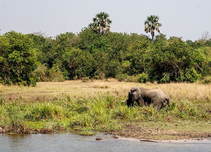 african-elephant-uganda-wildlife-safari