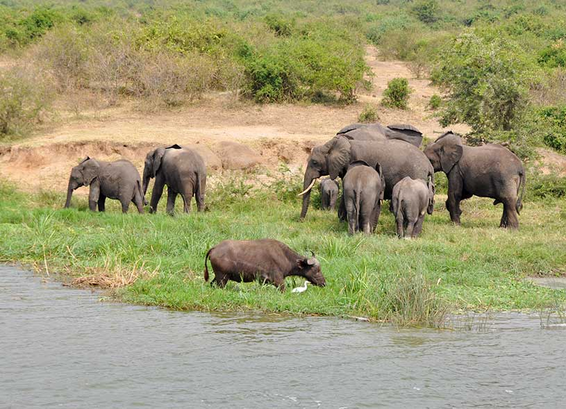 african-elephants-uganda-magic-safaris