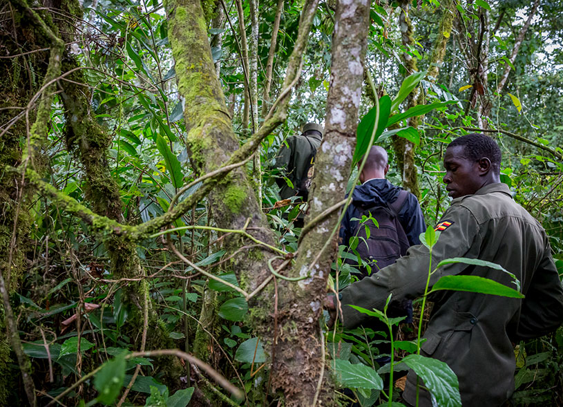 bwindi-mountain-gorilla-safari-tracking-magic-safaris