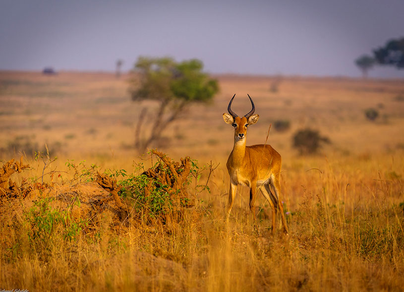 game-wildlife-magic-uganda-safaris