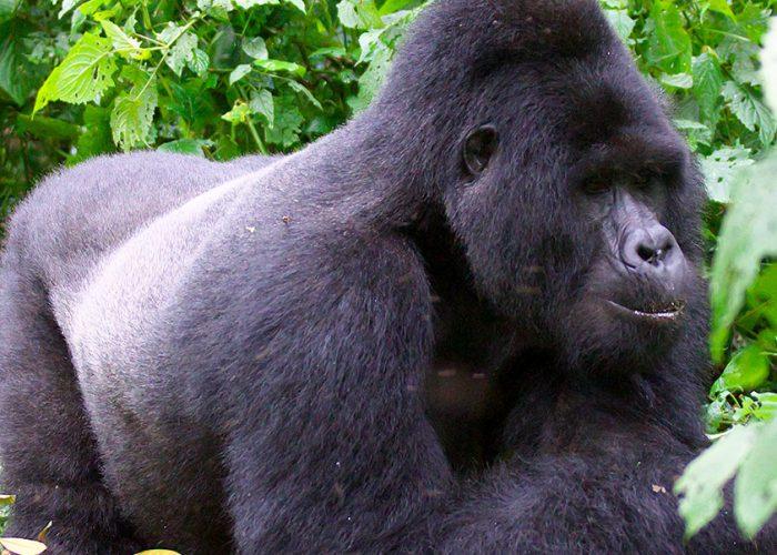 gorilla-uganda-wildlife-safari