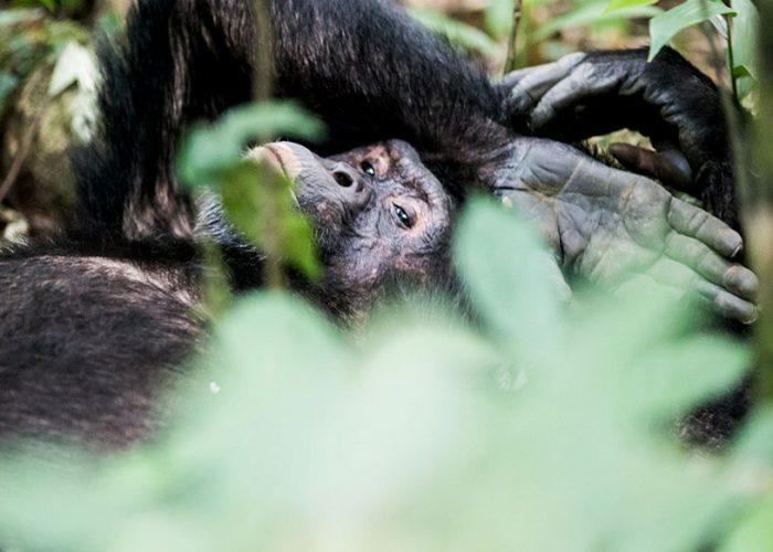 Kibale Chimpanzee Trekking Safari