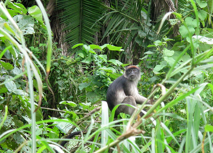 kibale-forest-national-primate-safaris