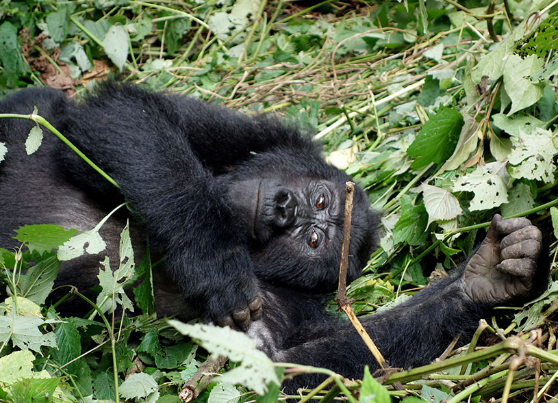 uganda-mountain-gorilla-safari