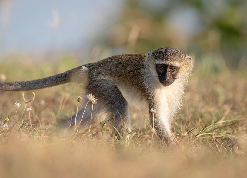 prmates-murchison-falls-uganda-safari