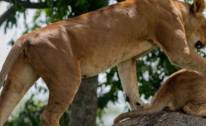 tree-climbing-lions-magic-uganda-safari