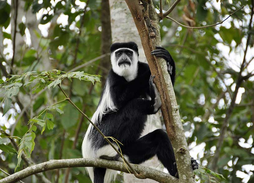 white-colobus-monkey-kibale-forest-uganda
