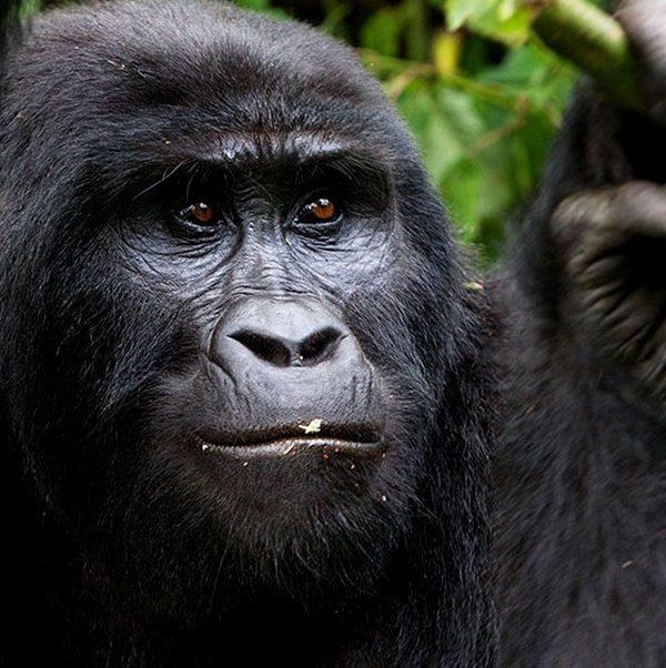 Bwindi Gorilla Chimpanzee Safari