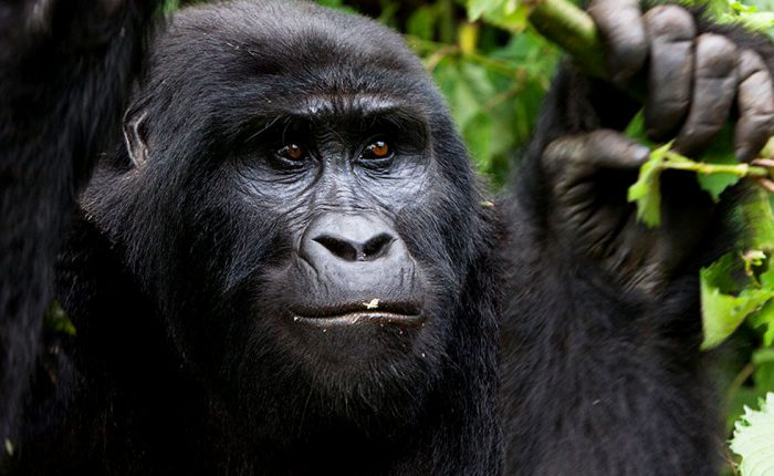 gorilla-uganda-wildlife-magic-safaris