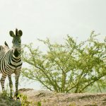 lake-mburo-zebra-wildlife