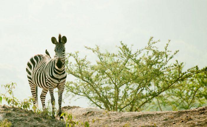 lake-mburo-zebra-wildlife
