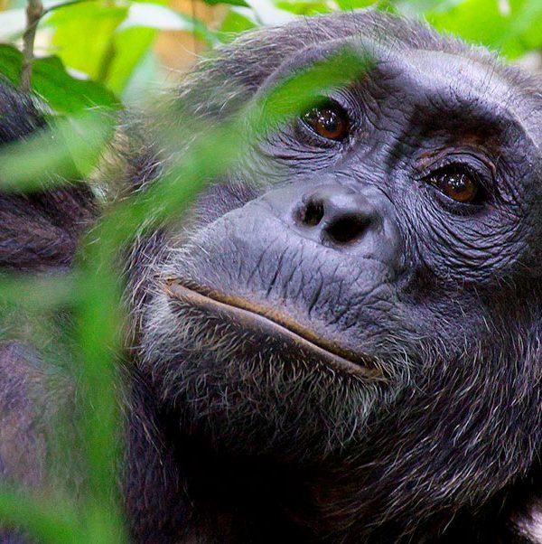 magic-uganda-chimpanzee-wildlife-safaris