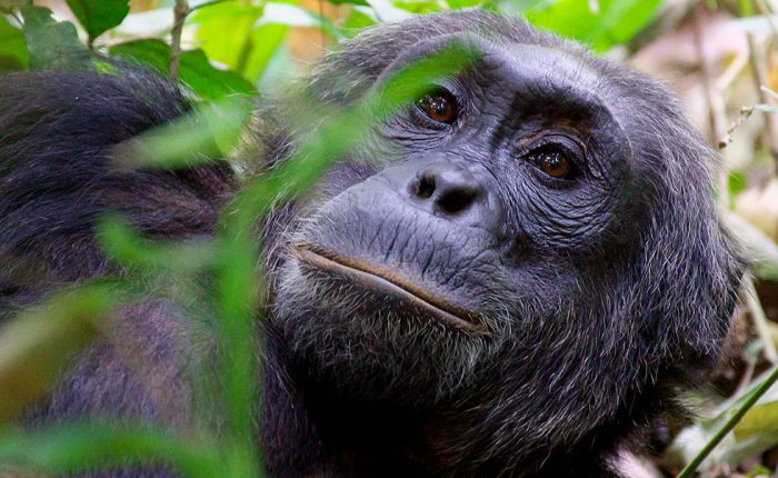 magic-uganda-chimpanzee-wildlife-safaris